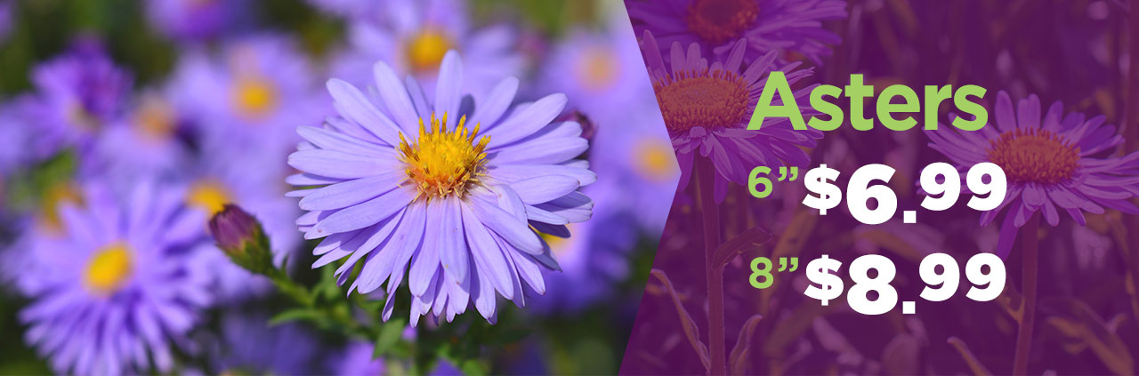 """6"""" Asters Only $6.99 at TLC Garden Centers"""