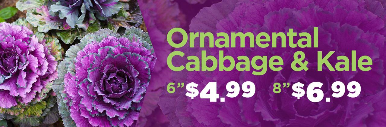 Ornamental Cabbage & Kale Specials