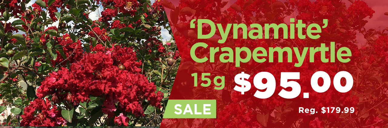 Dynamite Crapemyrtles on Sale