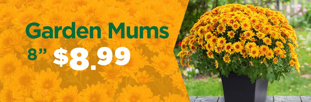 """8"""" Garden Mums Only $8.99 at TLC"""