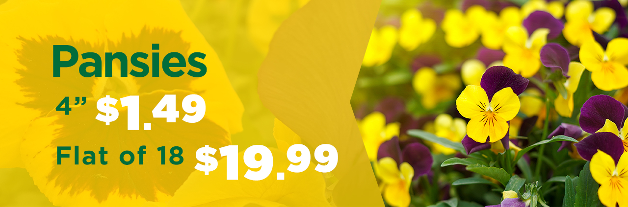 """4"""" Pansies Only $1.49 at TLC Garden Centers"""