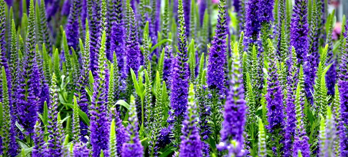 TLC Garden Centers | Perennials