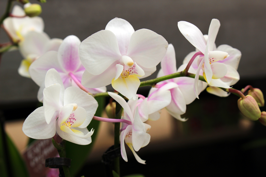 Orchids at TLC Garden Centers
