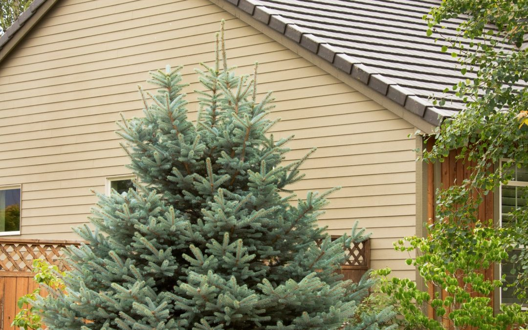 Fat Albert Blue Spruce, Courtesy Monrovia Plants