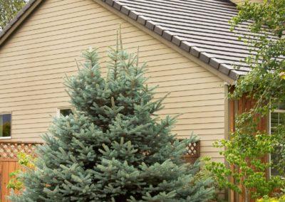 Living Christmas Tree Care