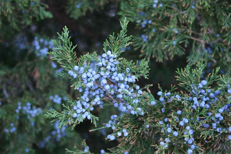 Canaerti Juniper Tree