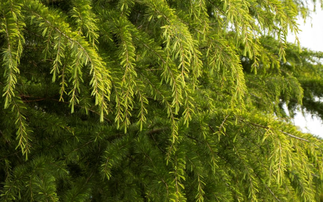 Golden Deodar Cedar Tree