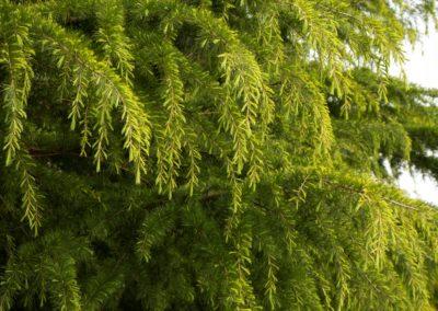 Golden Deodar Cedar Tree