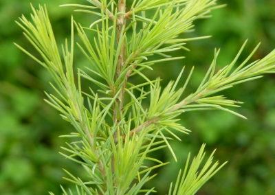 Gold Cone Deodar Cedar Tree