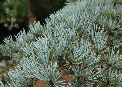 Sanders Blue Deodar Cedar Tree
