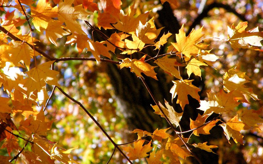 Caddo Sugar Maple Tree