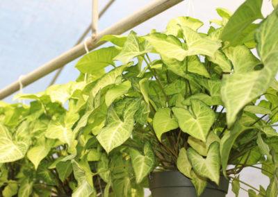 Arrowhead Ivy