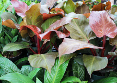 Congo Philodendron