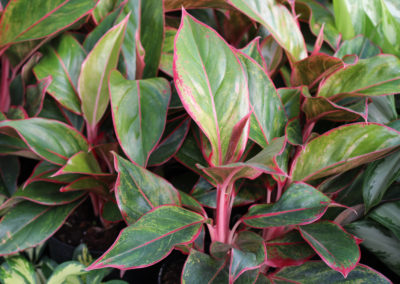 Aglaonema or Chinese Evergreen