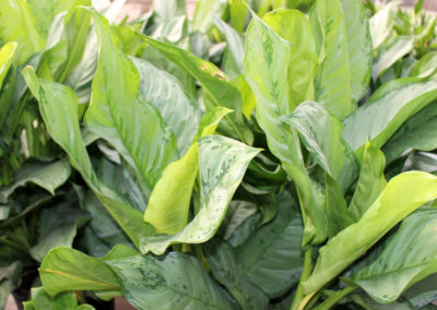Aglaonema or Chinese Evergreen