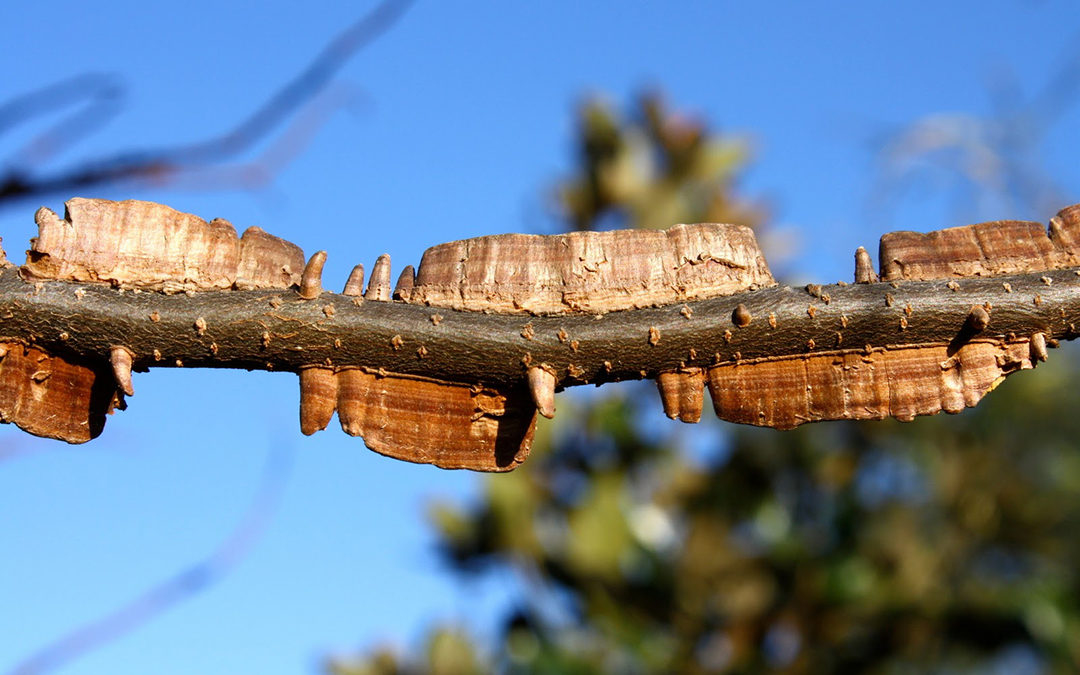 Cedar Elm Tree