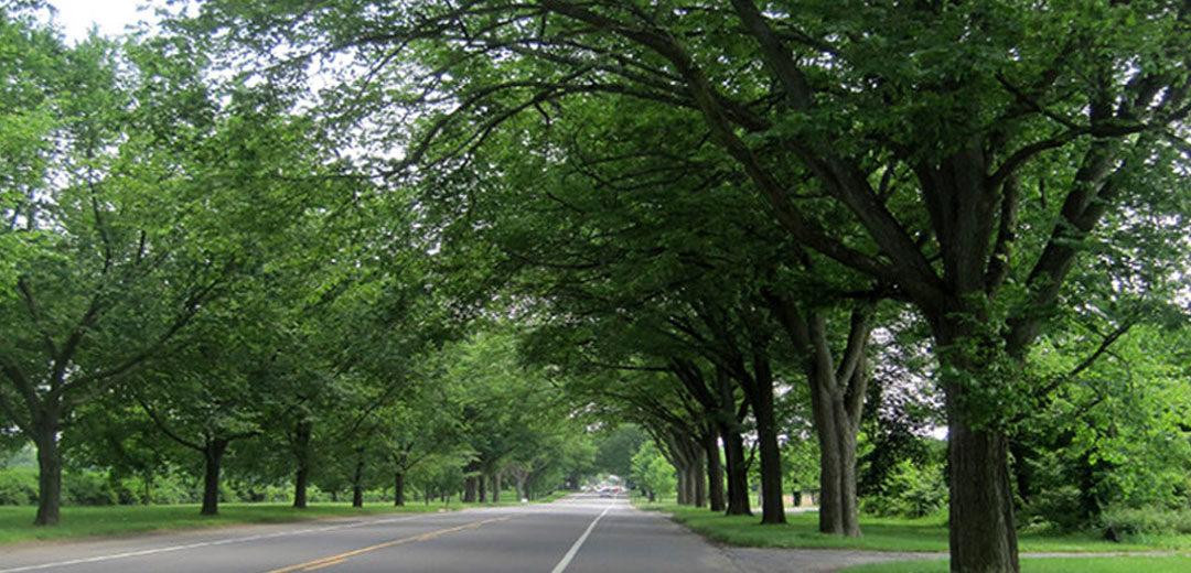Allee Lacebark Elm Tree