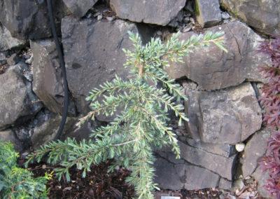 Karl Fuchs Deodar Cedar Tree