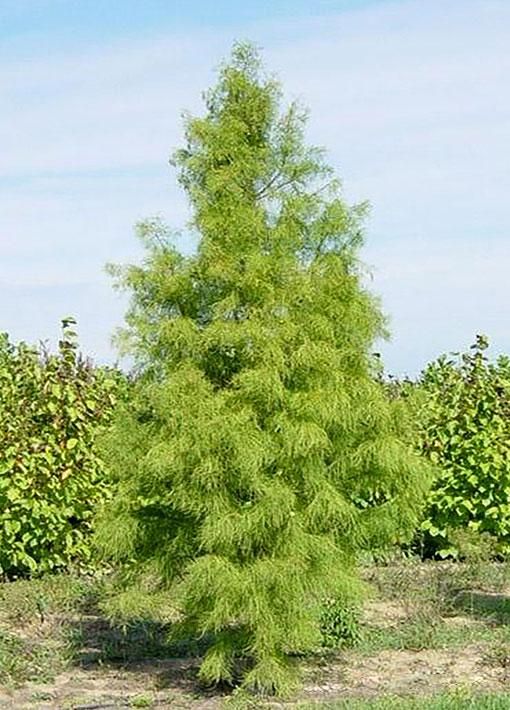 Debonair Pond Cypress Tree