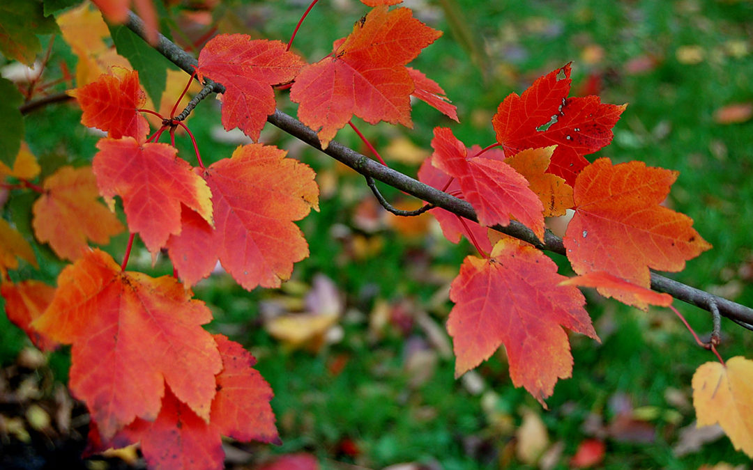 October Glory Maple Tree