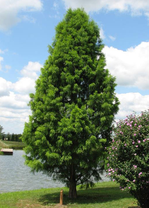 Shawnee Brave Bald Cypress Tree
