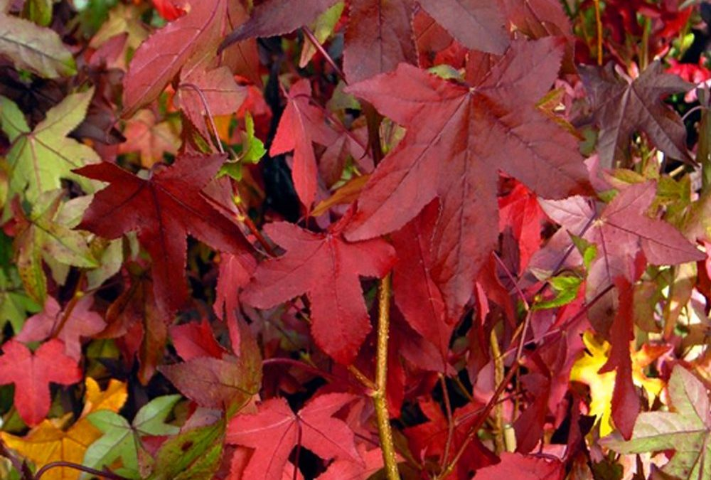 Slender Silhouette Fall Foliage