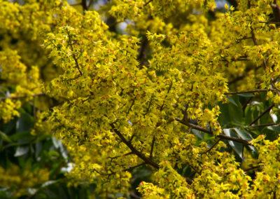Golden Raintree Tree