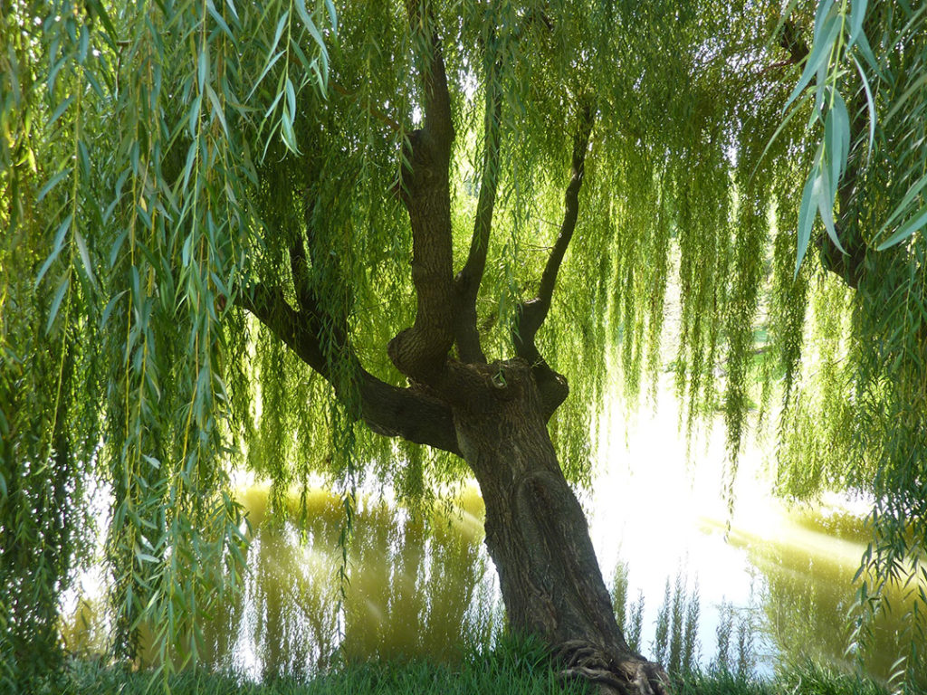 Weeping Willow Tree Tlc Garden Centers