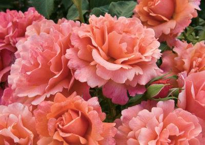 Roses in Oklahoma