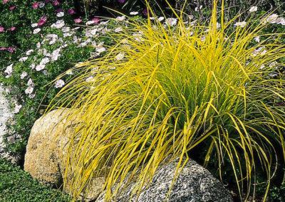 Carex & Sedge Grass
