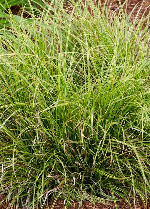 Carex Gold Fountain Perennial