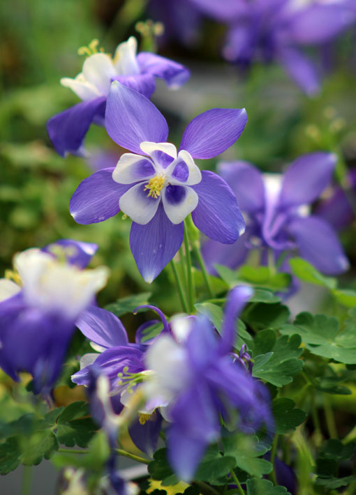 Columbine Spring Magic Perennial in Blue & White