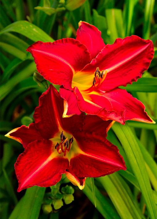 Daylily Red Starburst Perennial