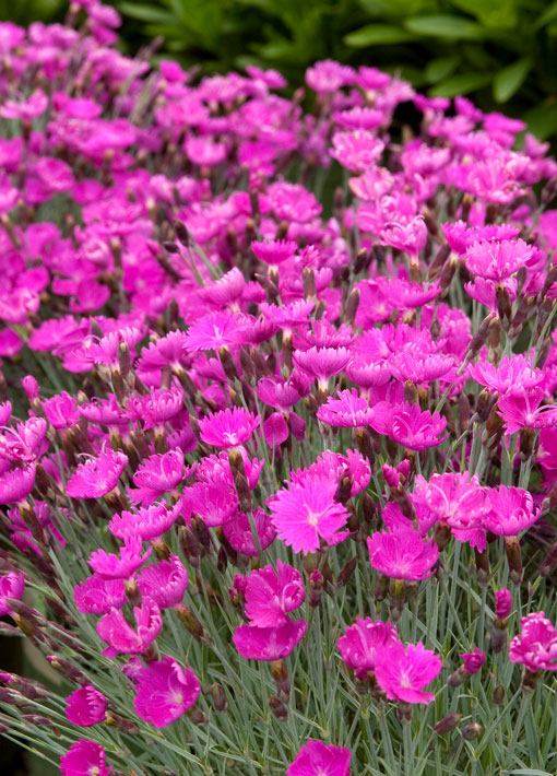 Dianthus Pink Firewitch Cheddar Perennial