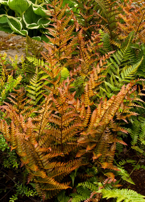 Autumn Fern Shade Perennial