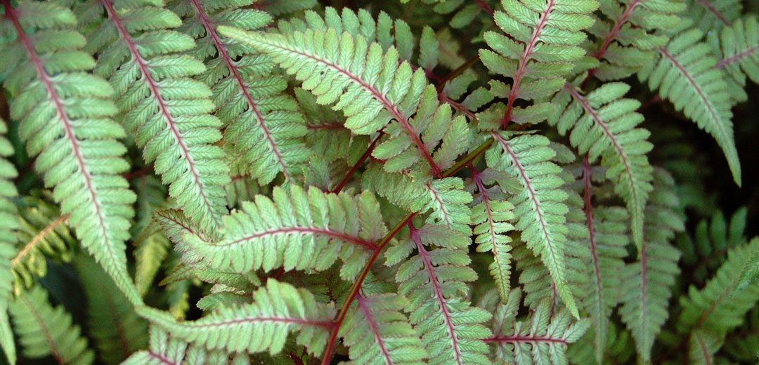 Japanese Painted Fern Perennial
