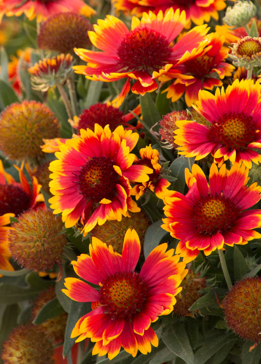 Gaillardia Arizona Sun Perennial