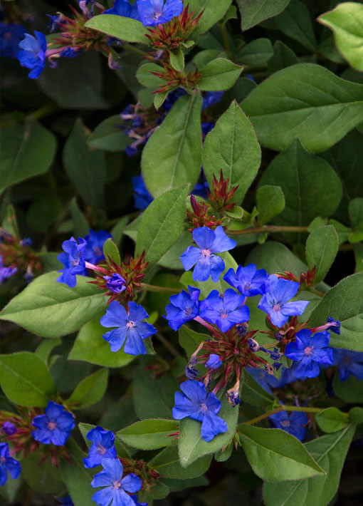 Blue Dwarf Hardy Plumbago Perennial