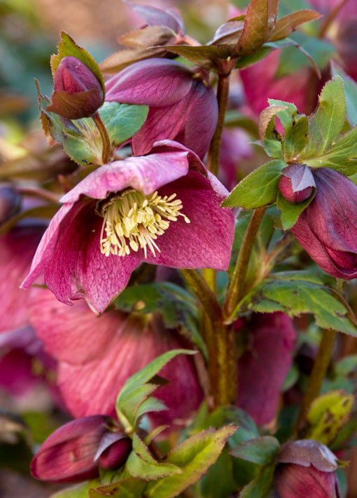 Red Lady Hellebore Perennial