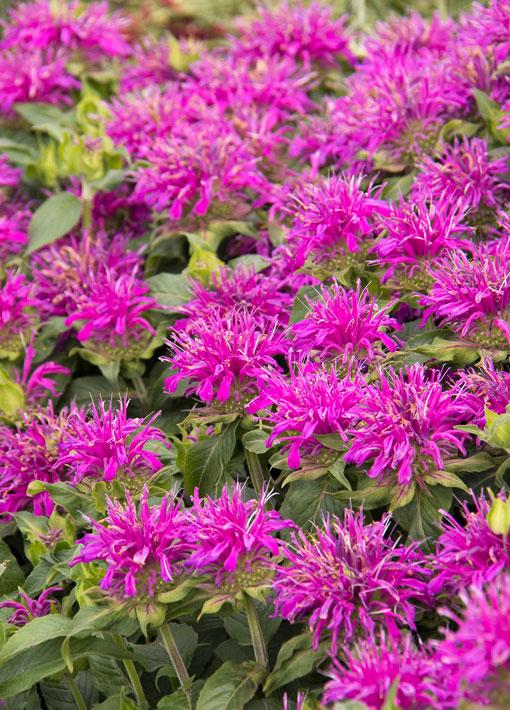 Monarda Balmy Lilac (Bee Balm) Perennial