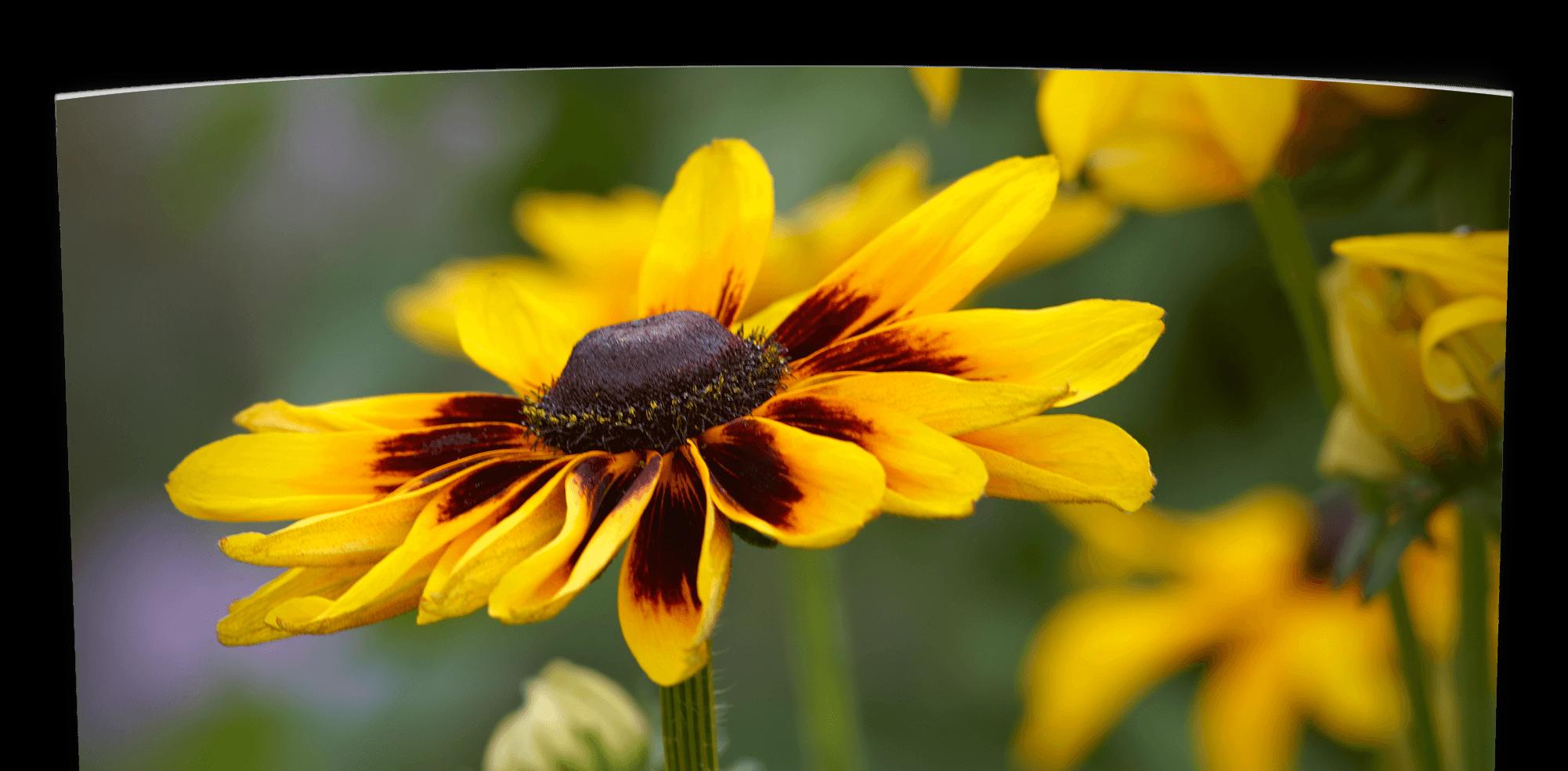 Oklahoma Annual Flower Guide