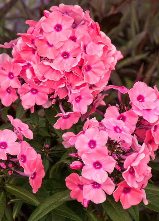 Phlox Candy Store Coral Creme Drop Perennial