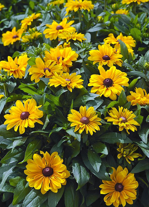 Rudbeckia Tiger Eye Gloriosa Perennial