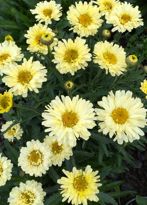 Shasta Daisy Real Dream Perennial