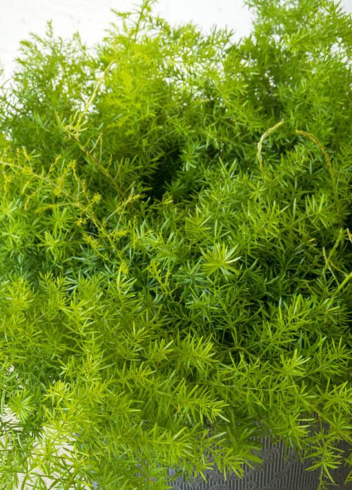 Asparagus Fern Annual