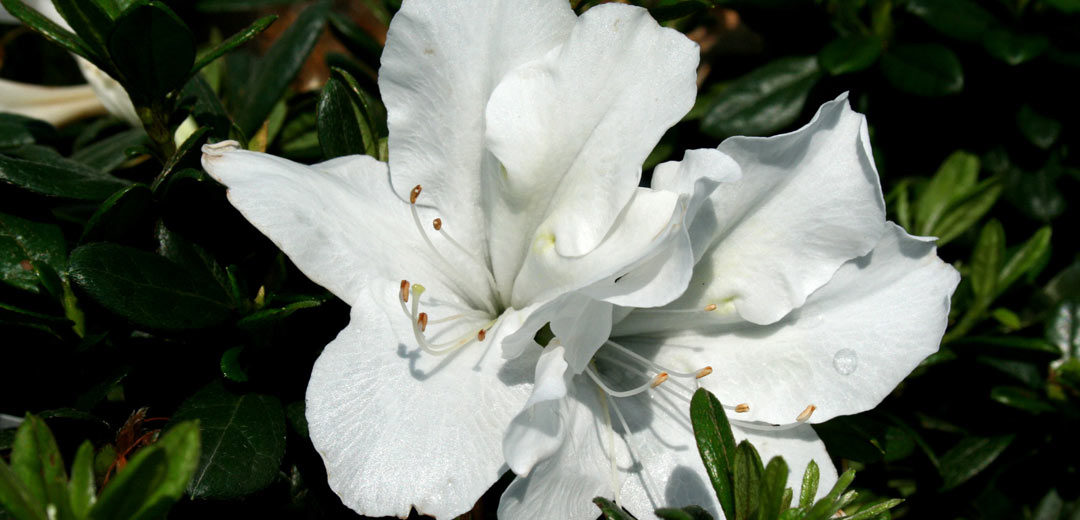 Astonishing Azaleas