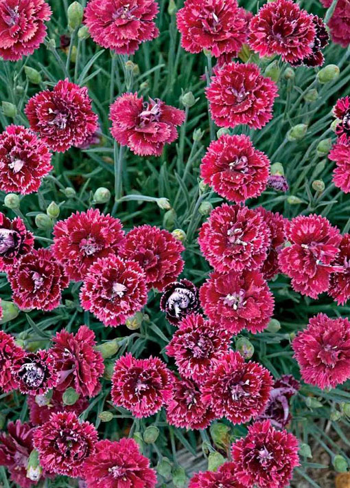 Pomegranate Kiss Dianthus Annual