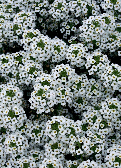 Snow Princess Lobularia Annual