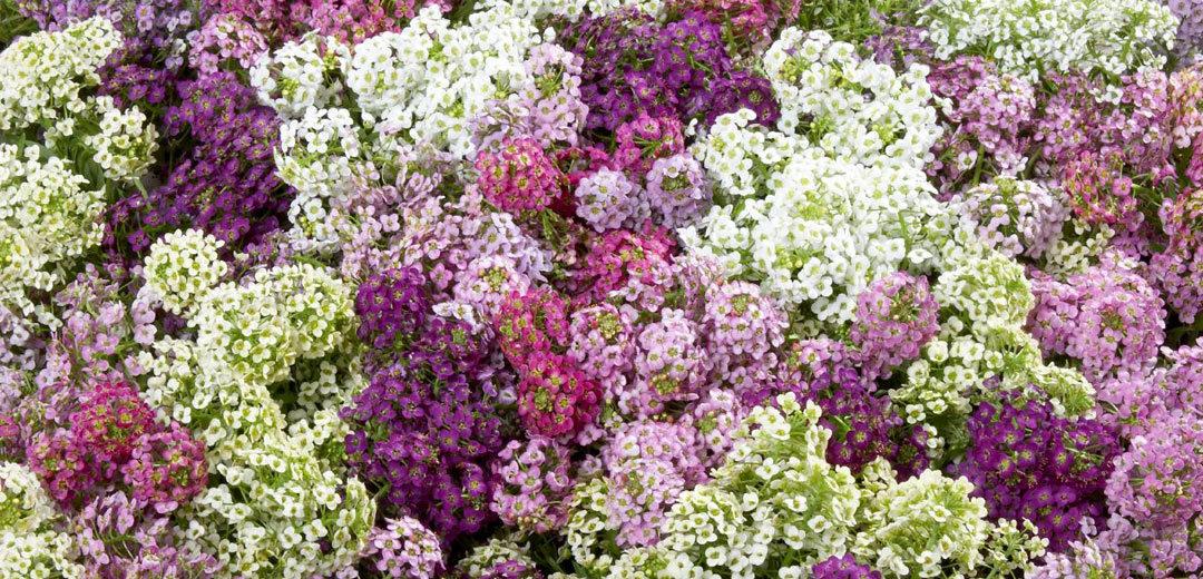 Wonderland Mix Lobularia Annual