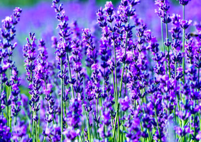 Lavender Pruning Tips